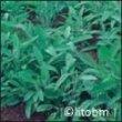Semi di Salvia Officinalis