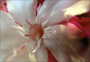Poster Fiore Perlacea