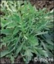 Semi di Rucola Selvatica