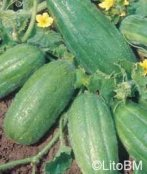 Semi di Melone Carosello Scopatizzo Barese - 5 Gr.