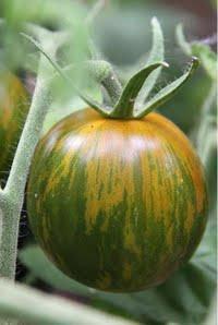 Semi di Pomodoro Green Zebra - 1 Gr