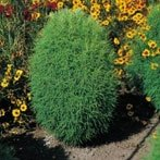 Semi di Kochia Tricophylla o Falso Cipressino