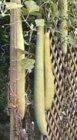 Semi di Lagenaria Siceraria Longissima