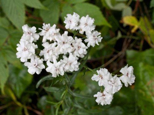 Semi di Gypsophila Paniculata