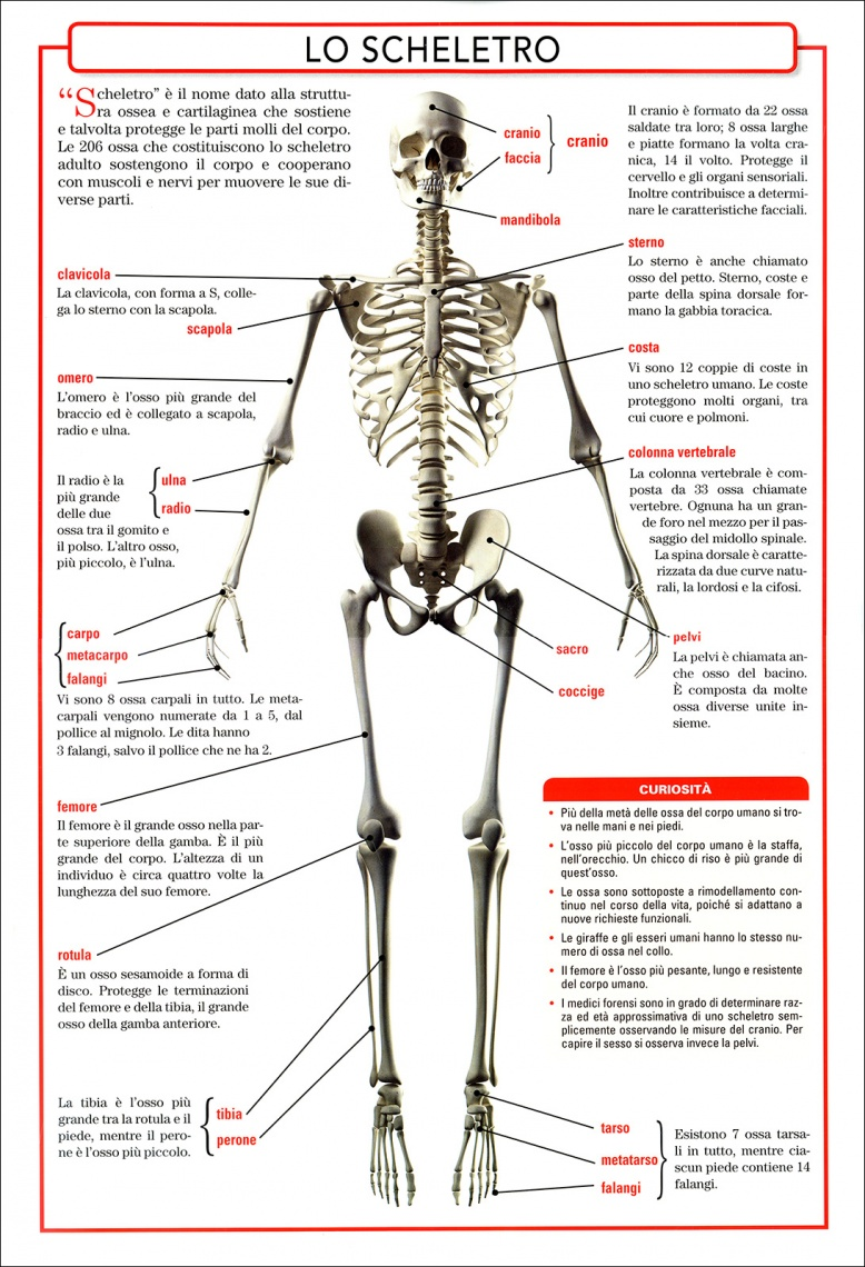 Anatomia del Corpo Umano - Scheletro