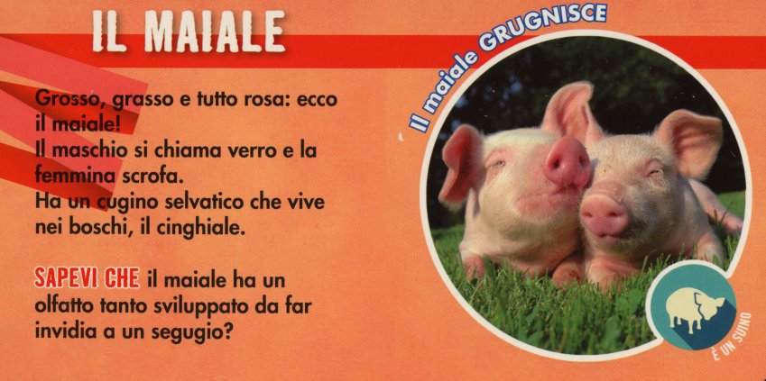 Animale maiale