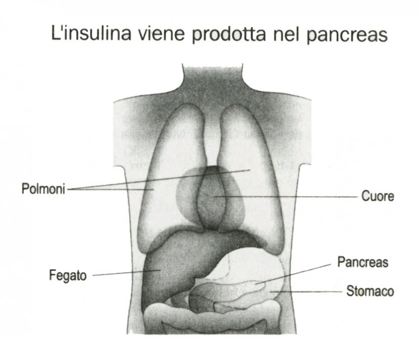 Insulina pancreas
