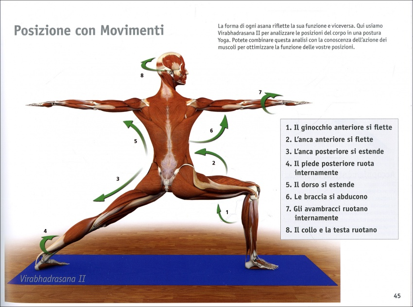 I Muscoli Chiave dello Yoga