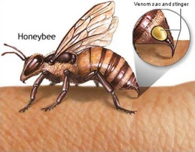 Struttura ape