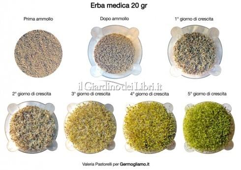 Semi per Germogli - Erba Medica (Alfaalfa)