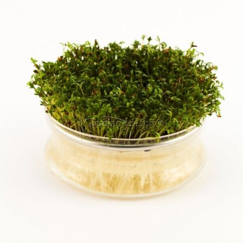 Crescione Lapidium sativum