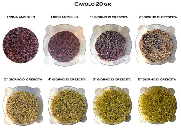 Semi per Germogli - Cavolo Rosso Brassica