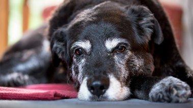 Cane Anziano: Cosa aspettarsi