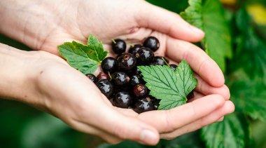 Ribes Nigrum: uso terapeutico e controindicazioni